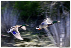 Mallard Flight by Anne Marie Maier